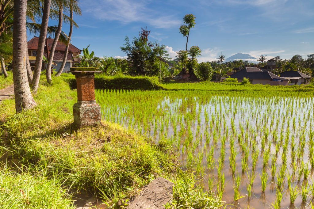 A rice field in Ubud with a volcano peak in the distance, Bali, Indonesia