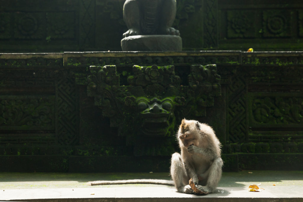 A Balinese long-tailed monkey at a temple, Ubud