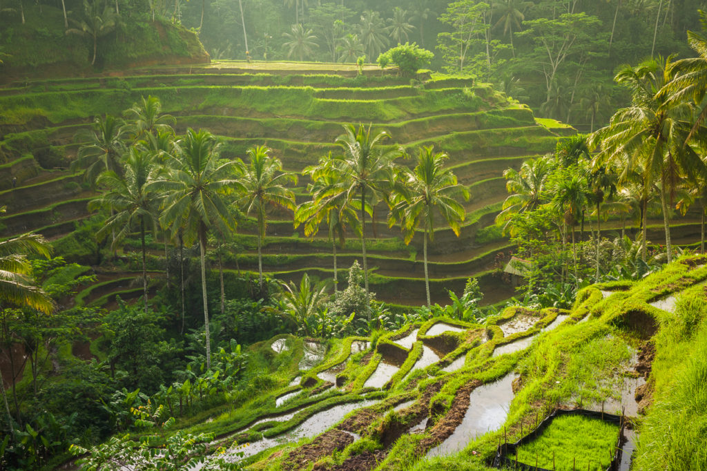 Rice terraces in a morning light, Tegallalang, Ubud, Bali, Indonesia